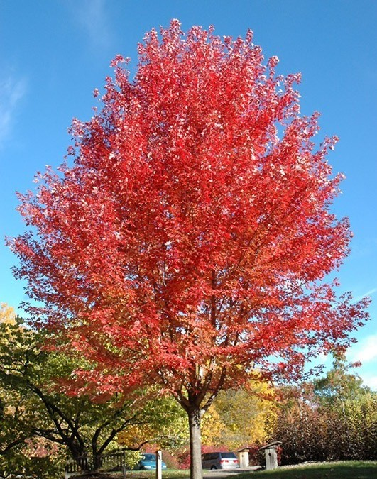 Light up the Landscape with Autumn Blaze Maple!