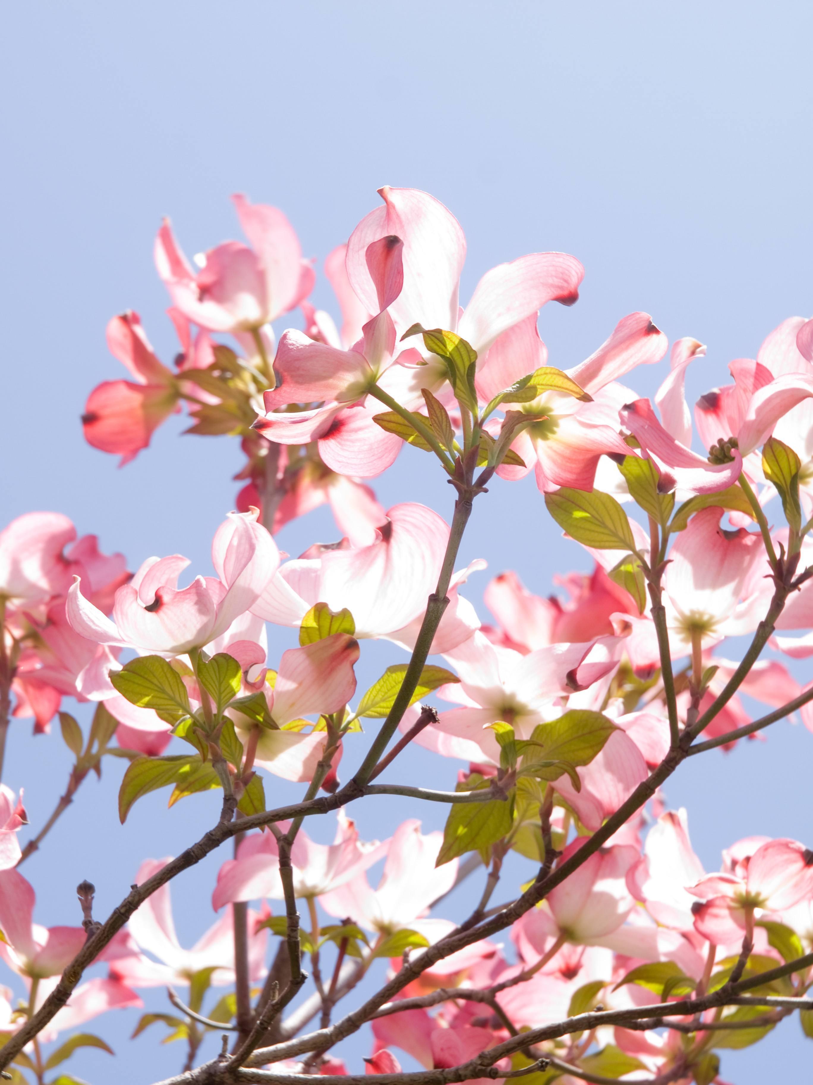 Spring Flowering Beauty