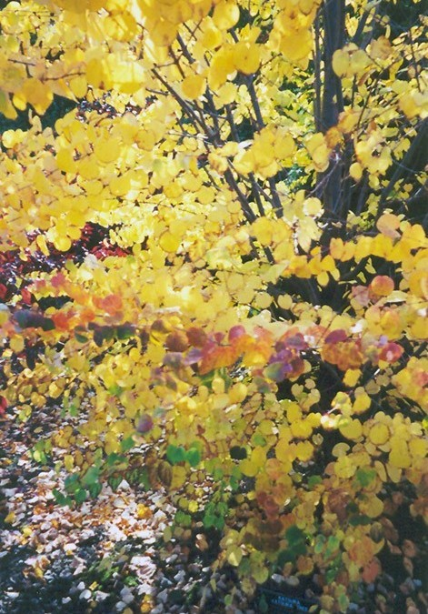 A Tree for Autumn Beauty: The Katsura