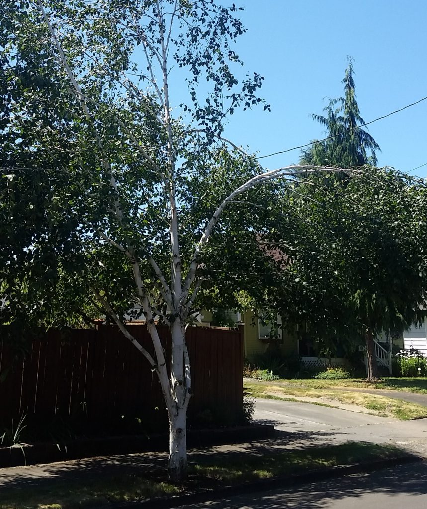 Birch tree with bowed limbs