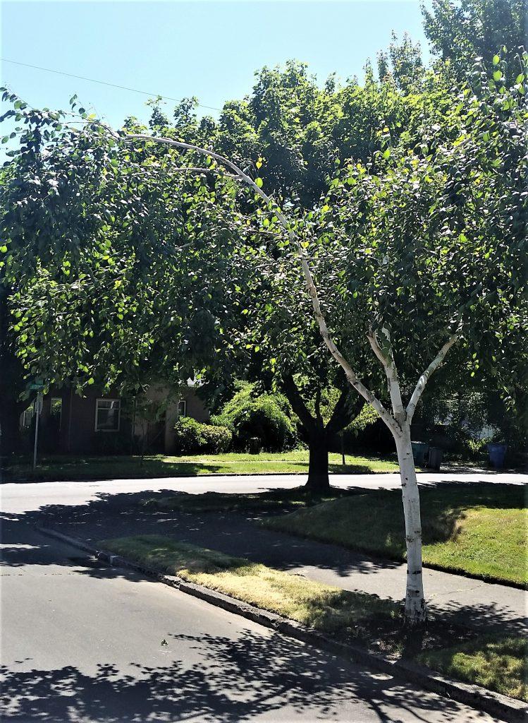 Birch tree bowed limb extending over sidewalk