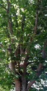 Rapid growth and full foliage tree closeup