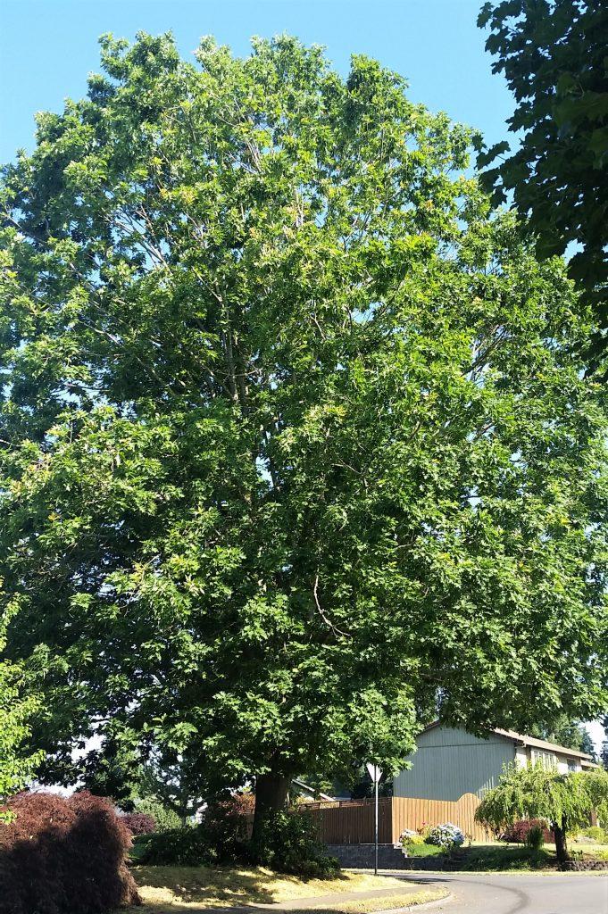 large-tree-with-full-flush-foliage