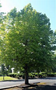 tree-with-heavy-full-flush-foliage